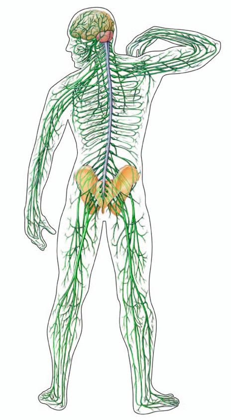 A vállízület osteophytái