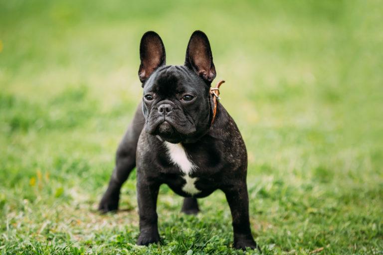 francia bulldog ízületi betegség