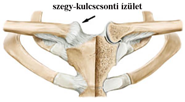 Dr. Diag - AC ízületi ganglion